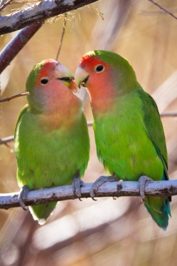 Peach-faced Lovebirds 01-20-13 Phoenix-2-3