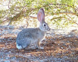 desert-cottontail-rabbit-desert-harmony